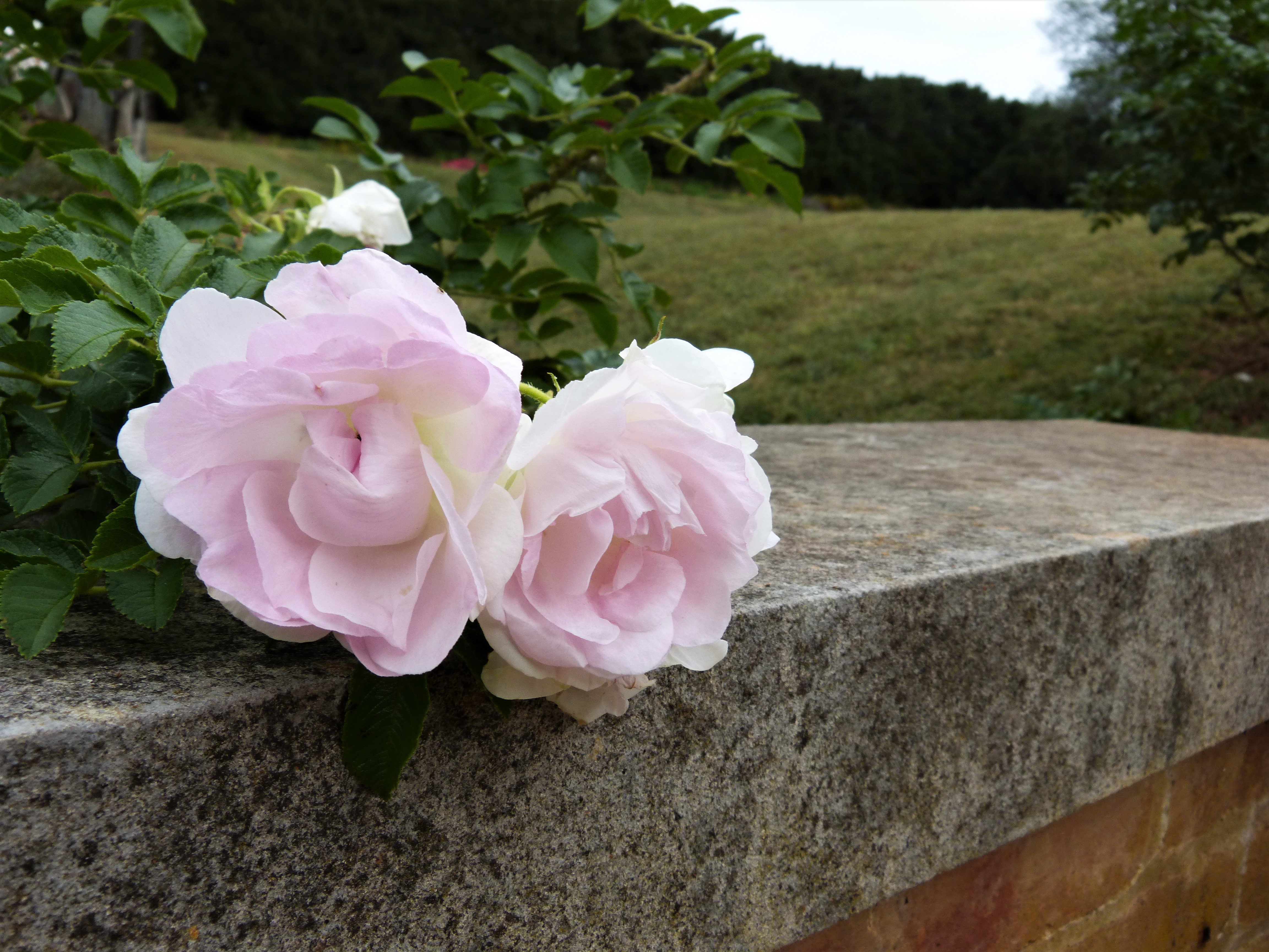 """A Paradise of Roses"": Flowers at Montpelier"